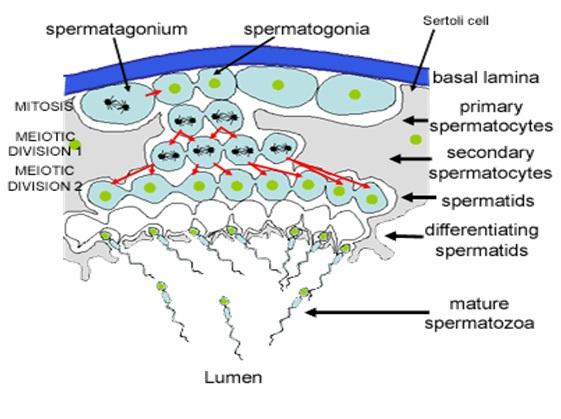 Sertoli cells