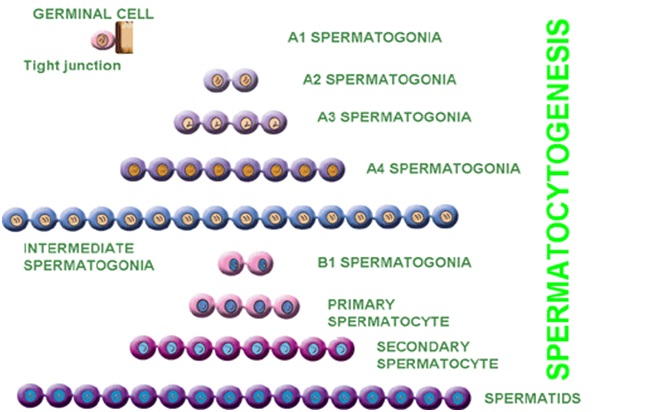 Spermatocytogenesis
